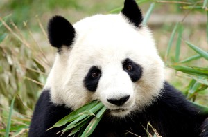 Panda: eats shoots and leaves (Ест побеги и листья).